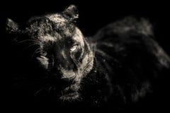 Portrait noir et blanc de panthère noire photographie stock libre de droits
