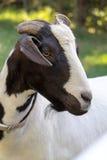 Portrait noir et blanc de plan rapproché de chèvre Images stock