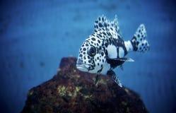 Portrait noir et blanc de poissons Images stock