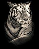 Portrait noir et blanc de tigre images stock