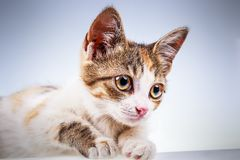 Little kitten with big eyes. Portrait of non-pedigree little kitten with big eyes Stock Images
