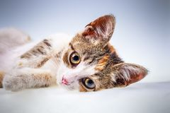 Little kitten with big eyes. Portrait of non-pedigree little kitten with big eyes Royalty Free Stock Photo
