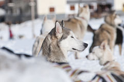Portrait of a nordic dog Stock Photo