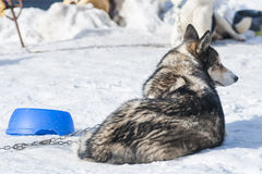 Portrait of a nordic dog Stock Images