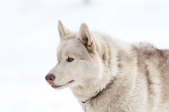 Portrait of a nordic dog Stock Photos
