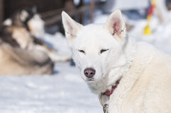Portrait of a nordic dog Royalty Free Stock Photo