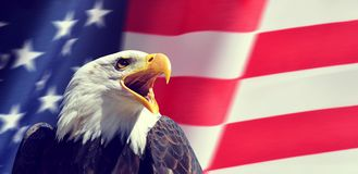 Portrait of a North American Bald Eagle Haliaeetus leucocephalus in the background USA flag. United States of America patriotic symbols royalty free stock photography