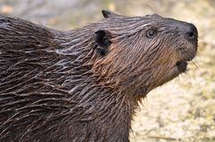 Portrait of North American Beaver Royalty Free Stock Photography