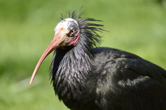 Portrait Northern Bald Ibis Royalty Free Stock Photography