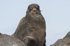 Portrait of the northern fur seal that looks Stock Photo