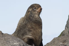 Portrait of the northern fur seal who looks Royalty Free Stock Photo