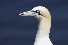 A portrait of a northern Gannet (Morus bassanus) Royalty Free Stock Images
