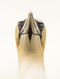 Portrait of a Northern Gannet (Morus bassanus) Royalty Free Stock Images