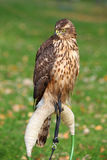 The portrait of Northern Goshawk Stock Photography