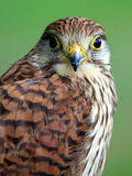 Portrait of Northern Goshawk Stock Images