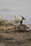 Northern Lapwing Royalty Free Stock Images