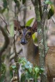 Northern Red Muntjac - Muntiacus vaginalis, Wilpattu National Park, Sri Lanka Stock Images