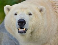 Portrait of the northern bear in Vienna zoo. Portrait of the northern, white bear. Austria, Vienna zoo, October 2017 stock image