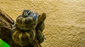 Portrait of a northwestern carpet python coiled up on a tree branch, tropical reptile from Australia. A portrait of a northwestern carpet python coiled up on a royalty free stock photos