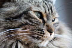 Portrait of a norwegian cat Royalty Free Stock Images