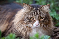 Portrait Of Norwegian Cat Sitting In The Grass Royalty Free Stock Photography