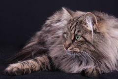 Portrait of Norwegian female cat Royalty Free Stock Photography