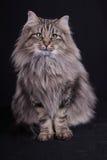 Portrait of Norwegian female cat. Studio portrait of Norwegian female cat Stock Photos