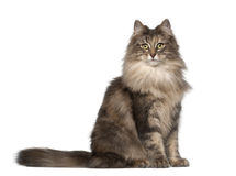 Portrait of Norwegian Forest Cat. 1 and a half years old, sitting in front of white background stock image