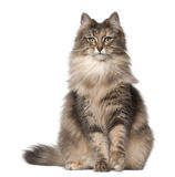 Portrait of Norwegian Forest Cat. 1 and a half years old, sitting in front of white background royalty free stock images