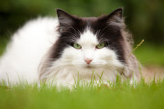 Portrait of Norwegian Forest Cat. Black and white Norwegian Forest Cat lying in field of grass royalty free stock image