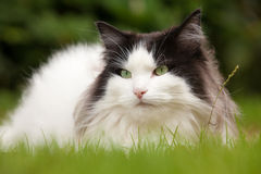 Portrait of Norwegian Forest Cat Royalty Free Stock Photography