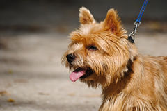 Portrait of Norwich terrier. One of the smallest terriers Royalty Free Stock Photos