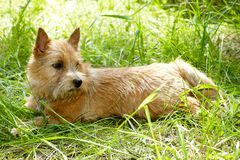 The portrait of Norwich Terrier in a garden.  stock photo