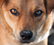 Portrait of a not purebred dog. Close up Royalty Free Stock Photo