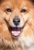 Portrait of a not purebred dog Stock Photography