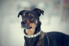 Portrait of not purebred dog Royalty Free Stock Photography
