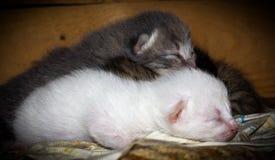 Portrait nouveau-né de chats Photos stock