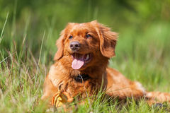 Portrait of a Nova Scotia Duck Tolling Retriever Royalty Free Stock Photography