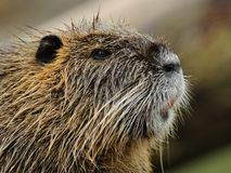 Portrait of a Nutria Stock Photos