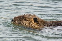 Portrait of a nutria Royalty Free Stock Photos