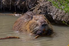Portrait of Nutria at Pont du Gau in Camargue. Portrait of coypu at Pont du Gau in Camargue outdoors in France royalty free stock photos