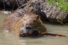 Portrait of Nutria at Pont du Gau in Camargue. Portrait of coypu at Pont du Gau in Camargue outdoors in France royalty free stock images