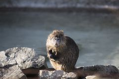 Portrait of a Nutria. Sitting on rocks royalty free stock photography