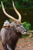 Portrait of Nyala Royalty Free Stock Photography