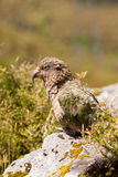 Portrait of NZ alpine parrot Kea, Nestor notabilis royalty free stock photos