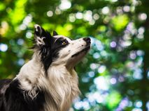 Portrait of an obedient black and white border collie, head shot. Bokeh background royalty free stock images