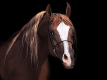 Portrait od adult arabian stallion at black background Royalty Free Stock Images