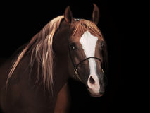 Portrait od adult arabian stallion at black background Royalty Free Stock Photography