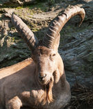 Portrait od barbary sheep ram Stock Images