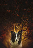 Portrait od the Dog Black and White Border Collie Sitting in front of the Bush - Art Version. Stock Photography